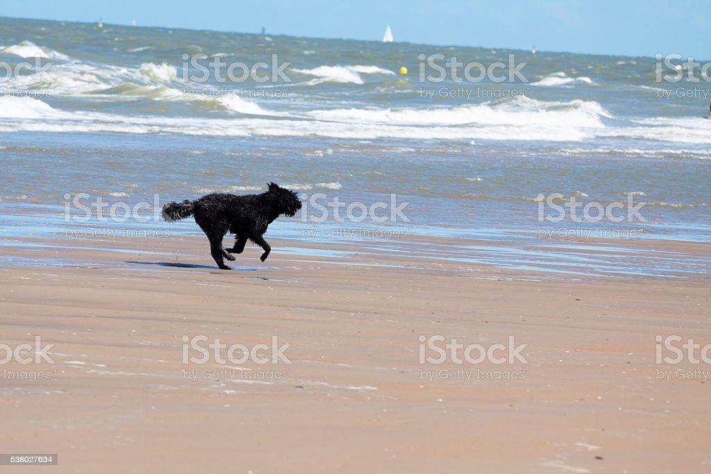 Running terrier dog on beach stock photo