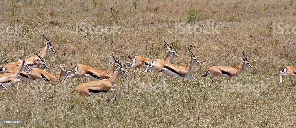 Running Thompson's Gazelles stock photo