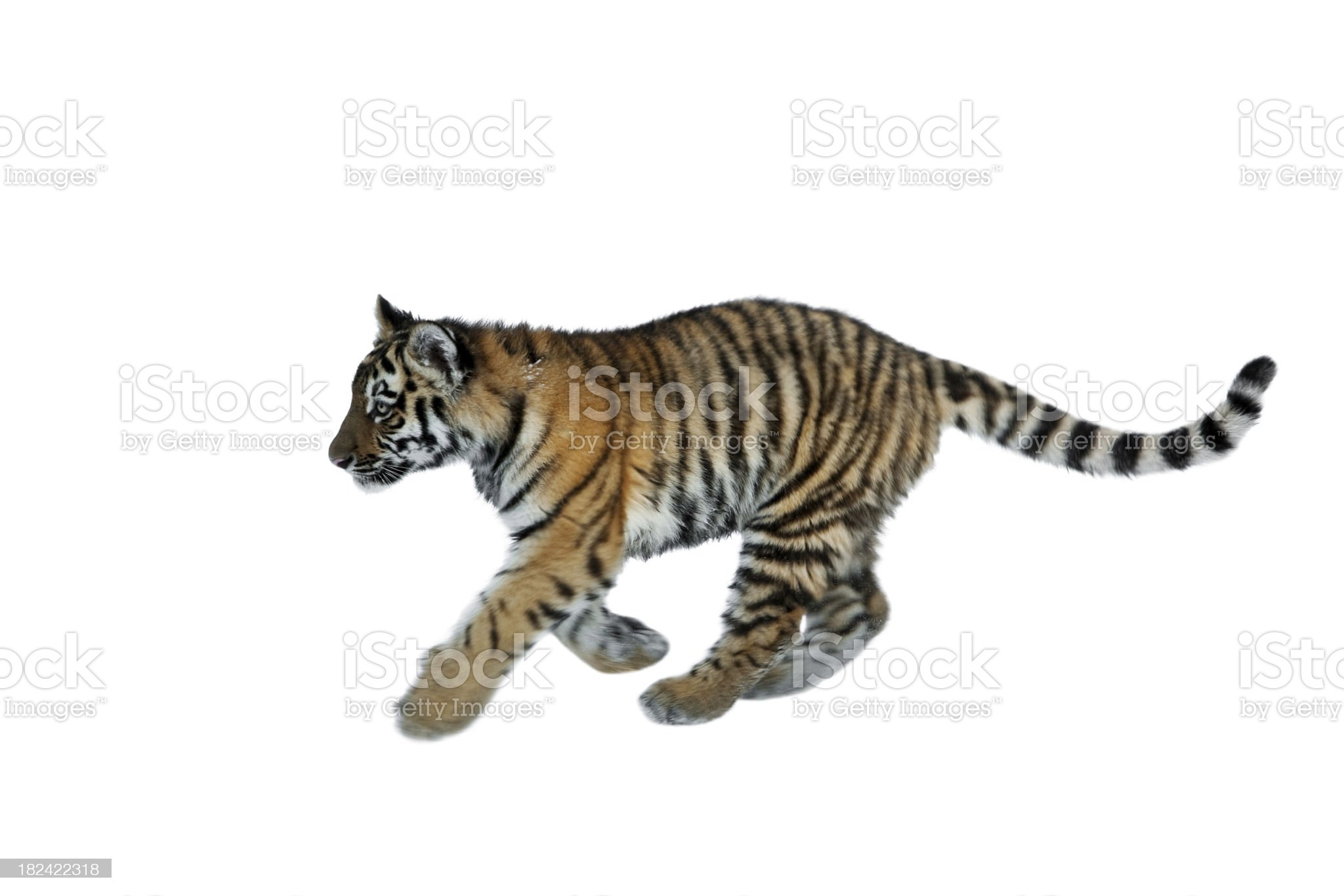 Running Tiger Cub Isolated On White royalty-free stock photo