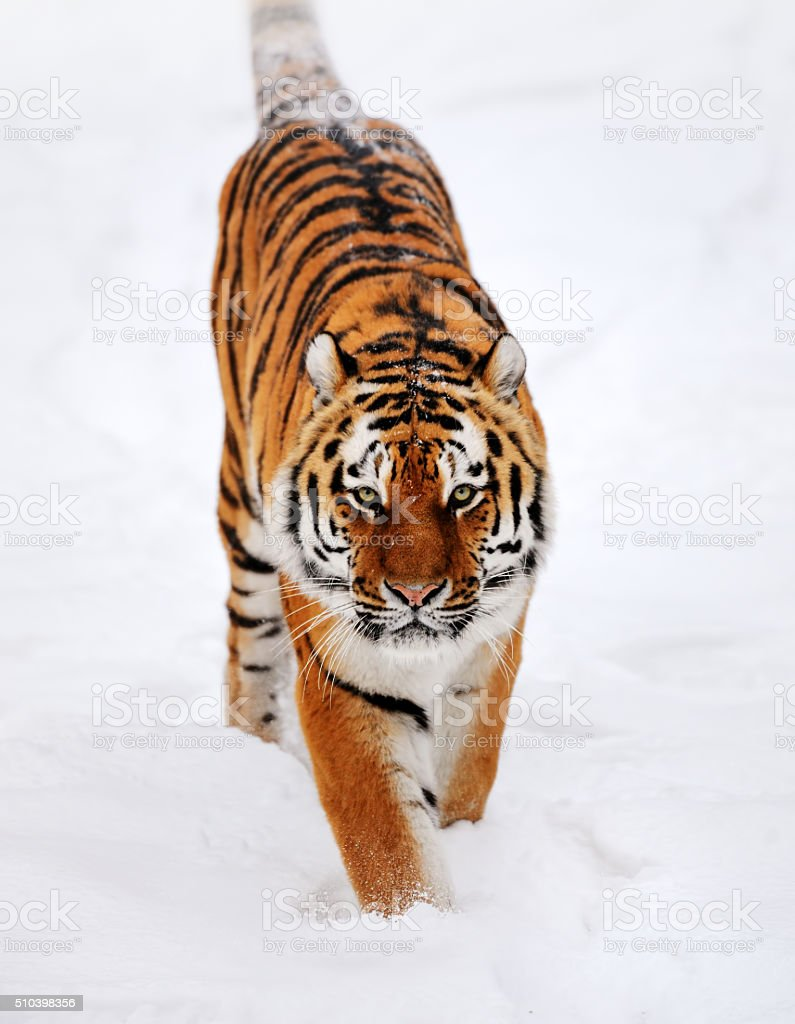 running tiger in snow stock photo