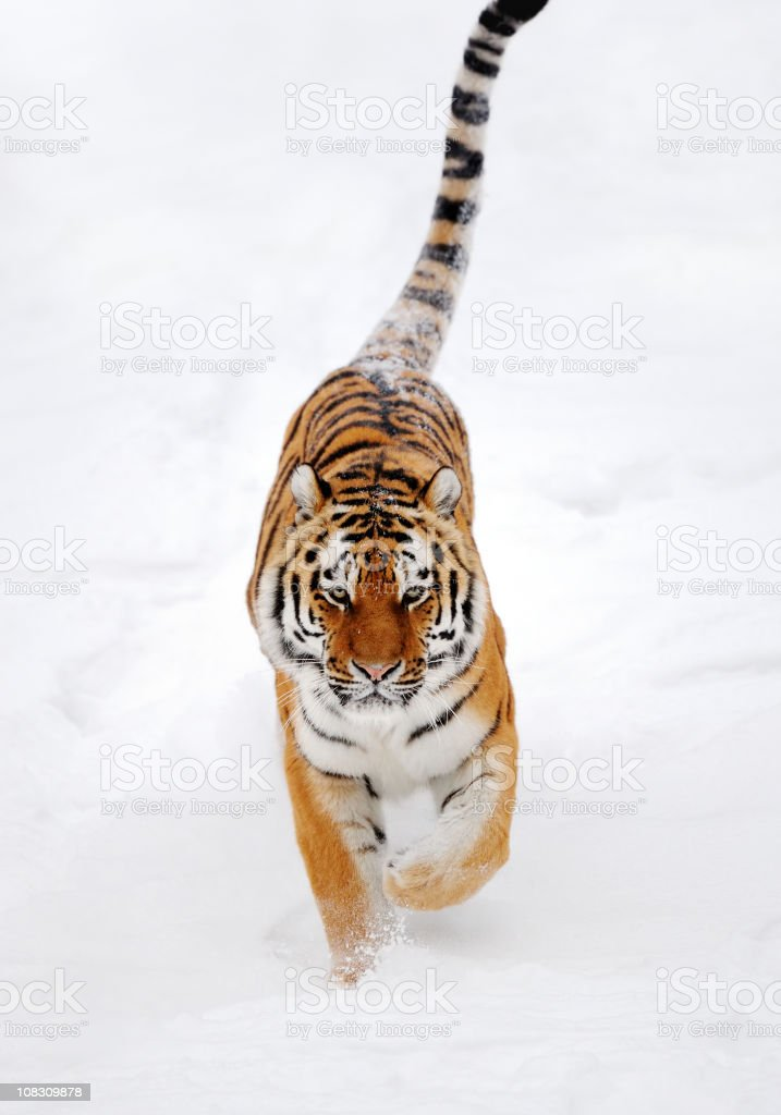 running tiger royalty-free stock photo