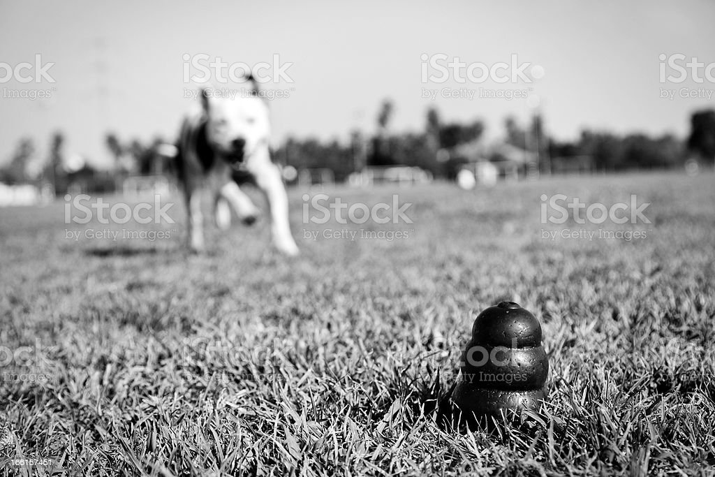 Running to Dog Toy on Park Grass - Monochrome royalty-free stock photo