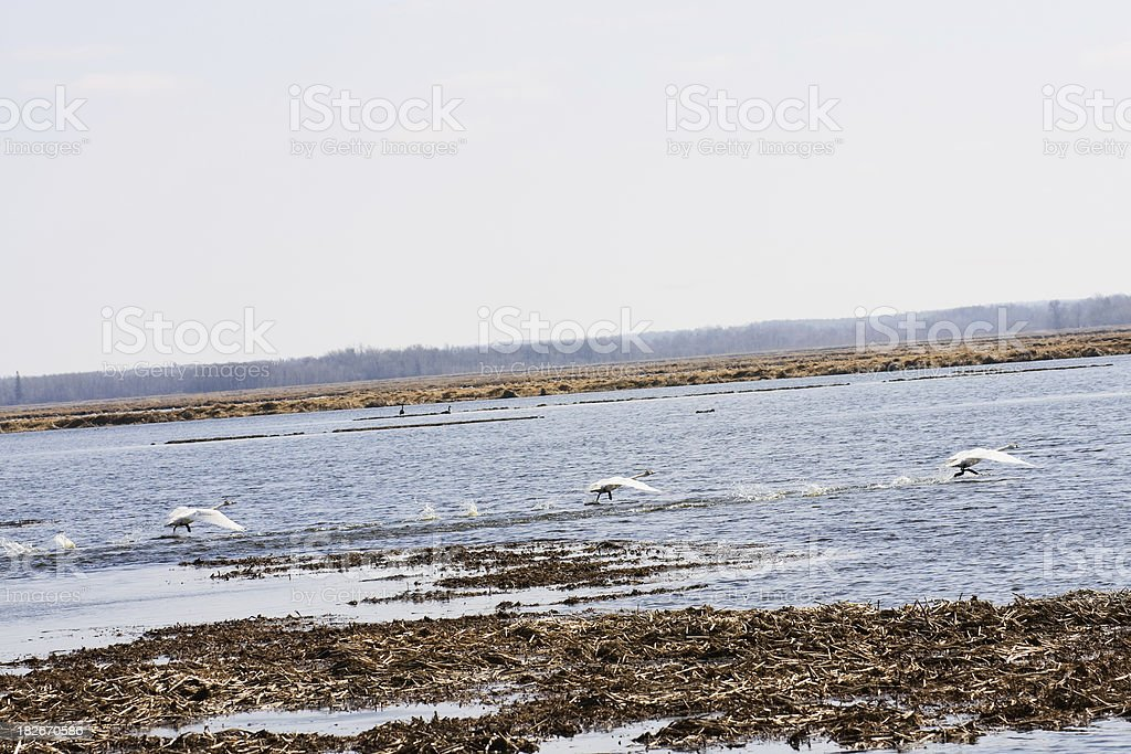 Running Trumpeter Swans in Flooded Minnesota Wild Rice Paddy stock photo