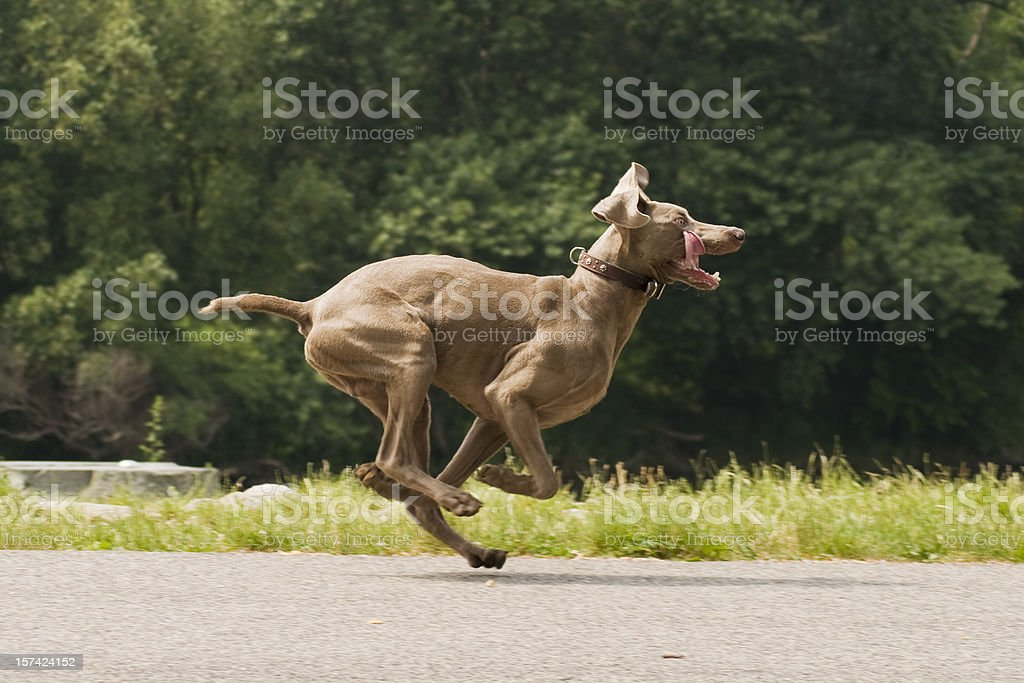 Running Weimaraner dog in funny pose stock photo