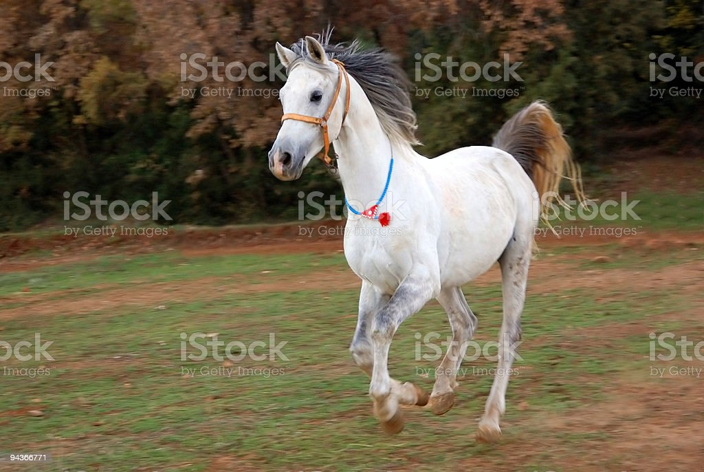 Running White Horse royalty-free stock photo