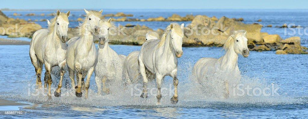 Running White horses through water stock photo