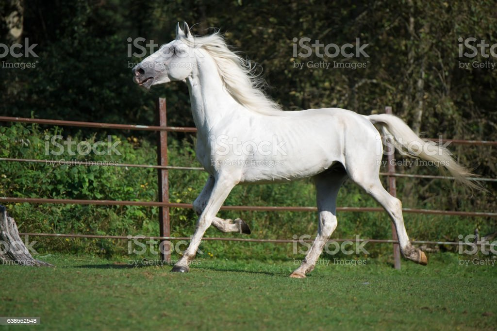 running white  Orlov trotter. stock photo