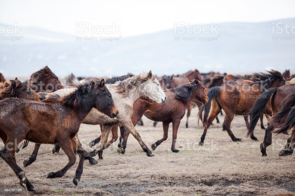 running wild horses and lots of dust stock photo