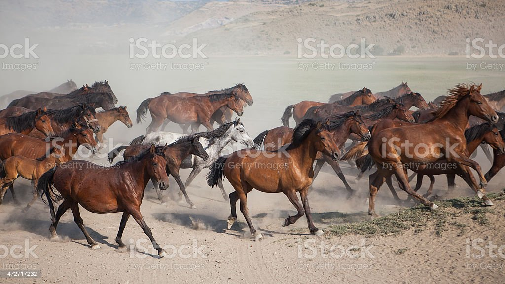 Running Wild Horses And Lots Of Dust – Stock Image stock photo