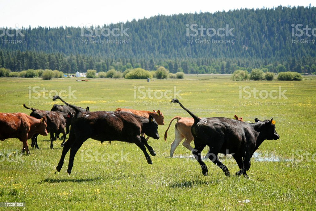 Running Young Cows and Playful Calf royalty-free stock photo