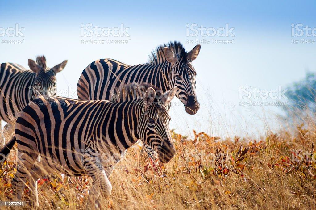 Running zebra stock photo