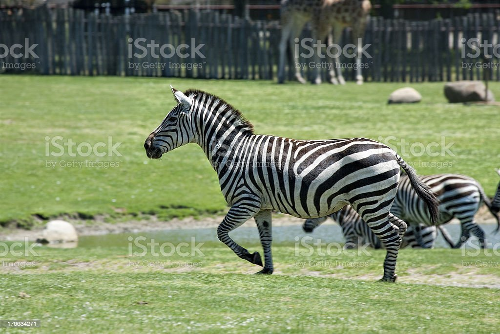 Running zebras stock photo