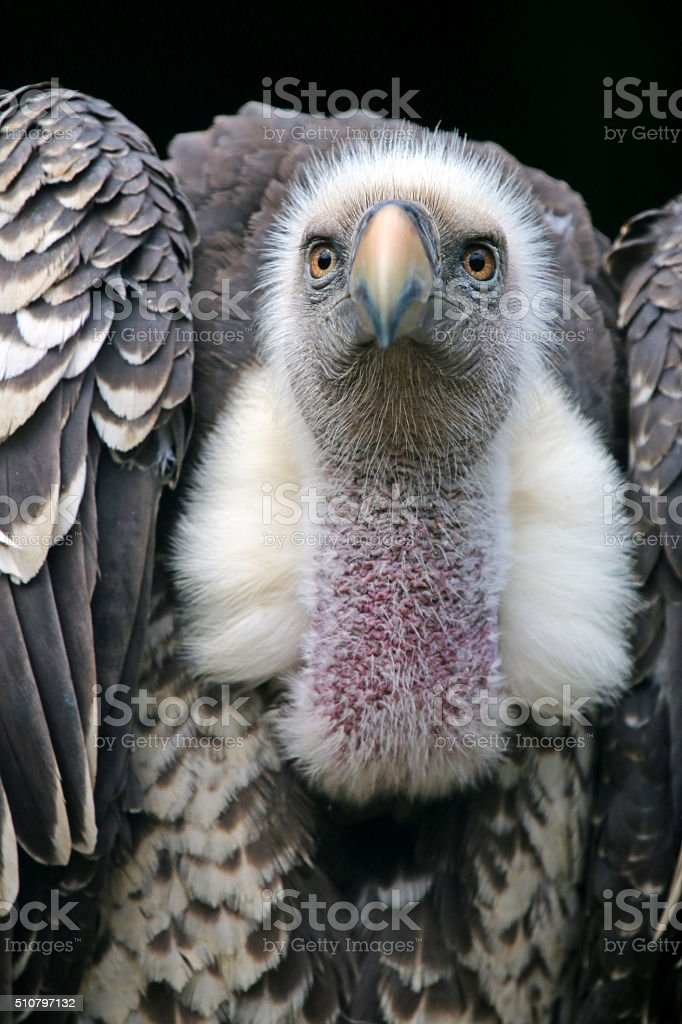 Ruppells vulture stock photo