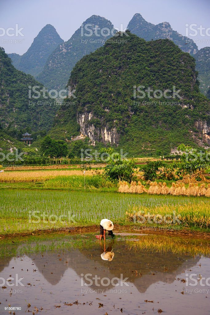 Rural China / Countryside rice field work royalty-free stock photo