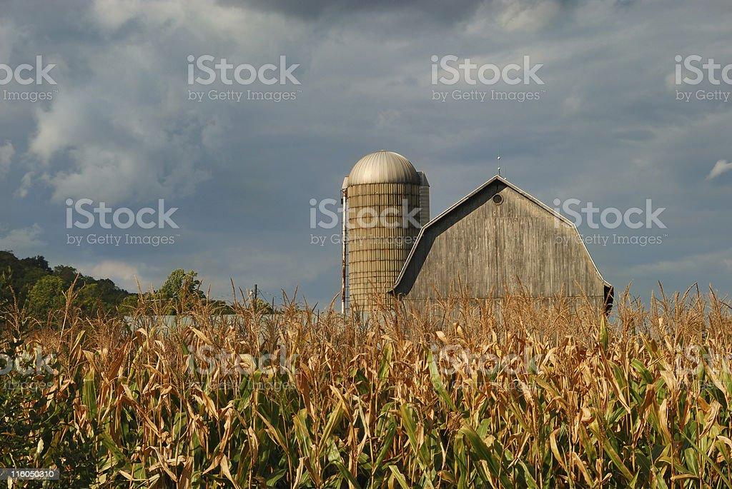 Rural Cornfield royalty-free stock photo