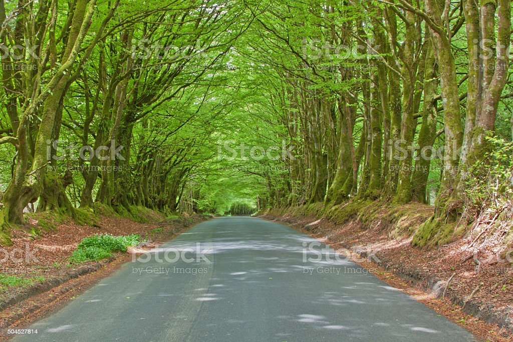 Rural English road and natural canopy of beech trees stock photo