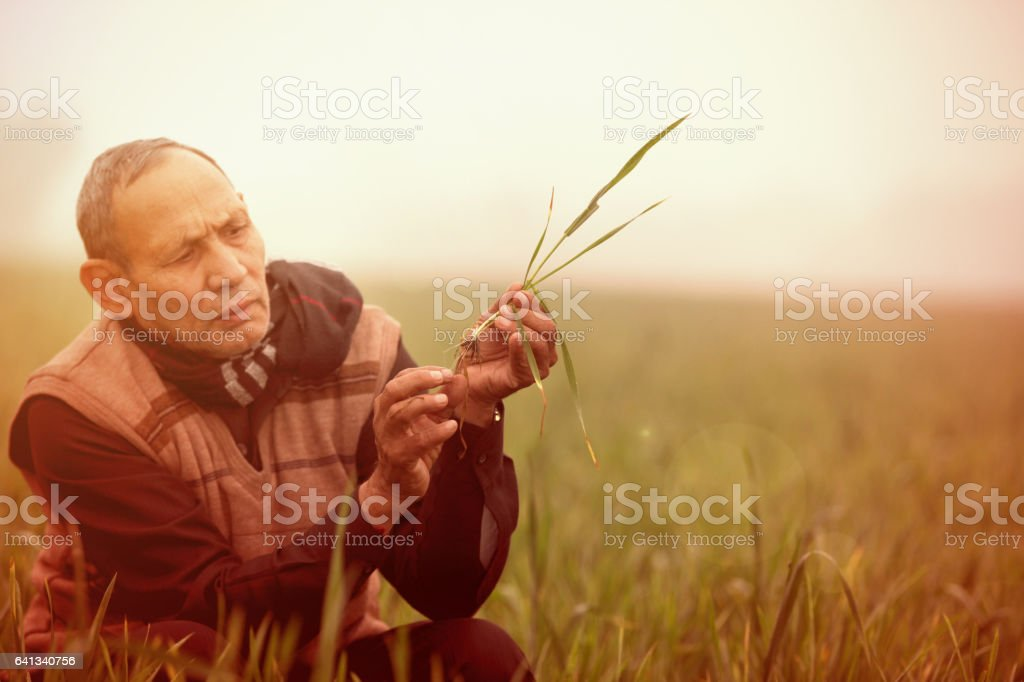 Rural Farmer examine the wheat crop in the field stock photo