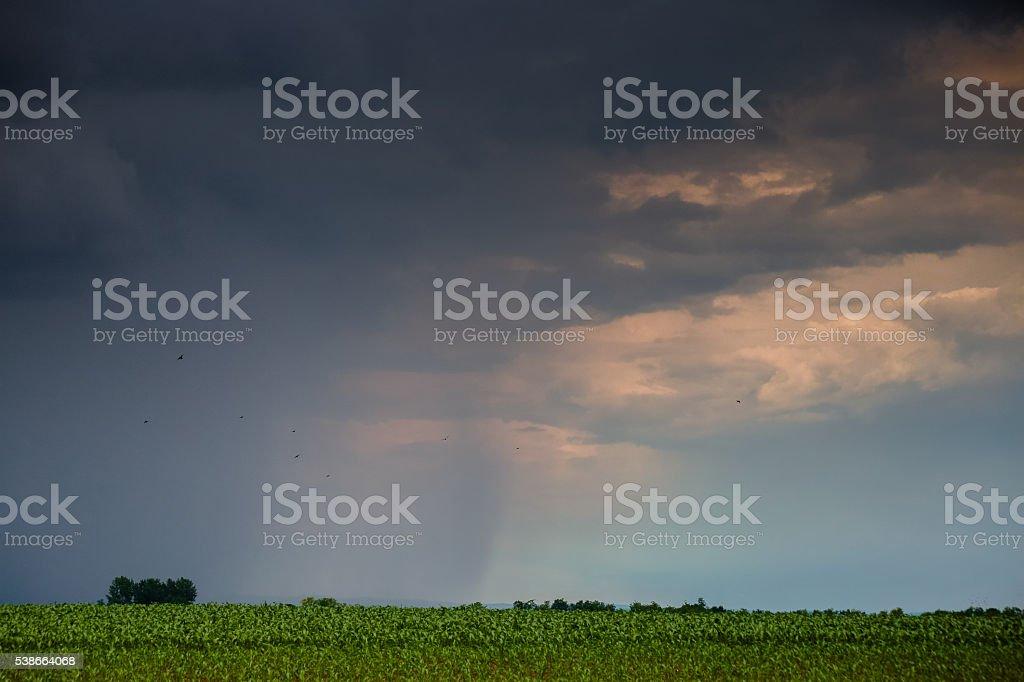 Rural landscape of agricultural cornfield under rain stock photo