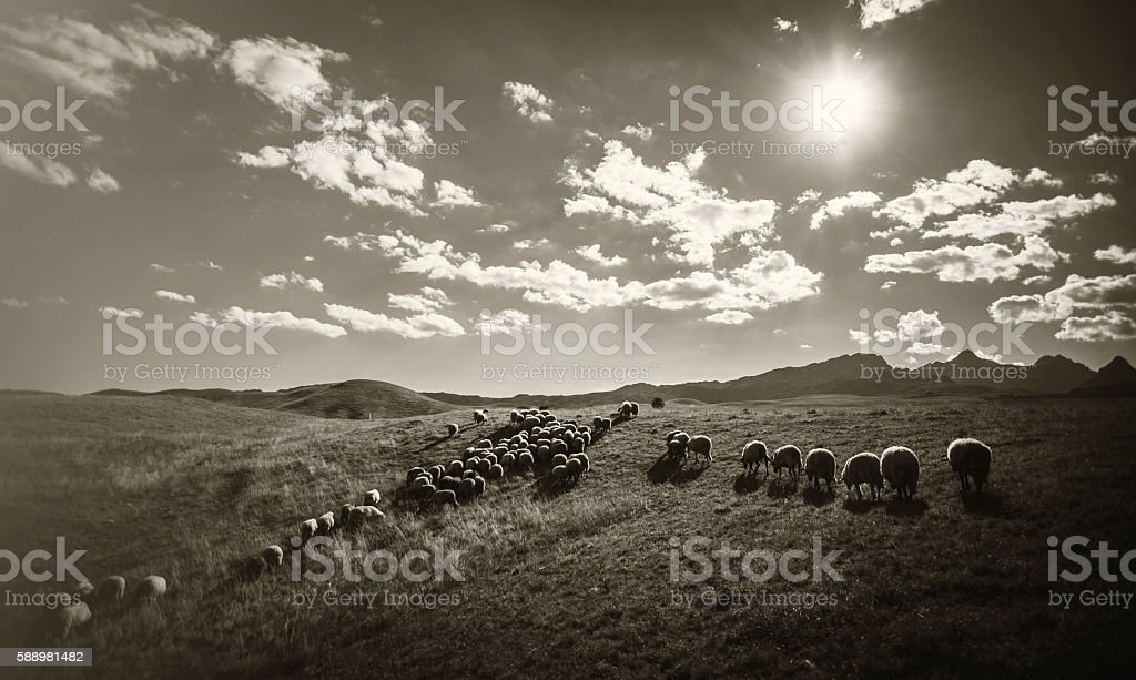 Rural Landscape with herd of sheep stock photo