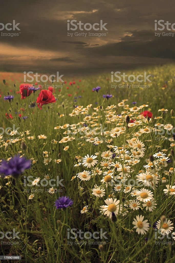 Rural landscape with lots of wild flowers in sunset royalty-free stock photo