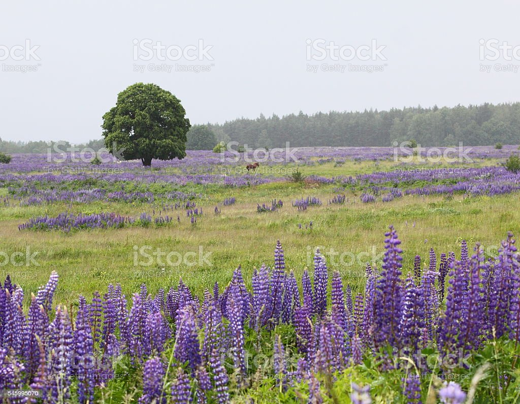 rural landscape with lupine and wood stock photo