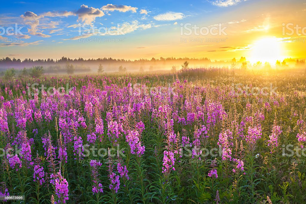 rural landscape with the sunrise  and  blossoming meadow stock photo