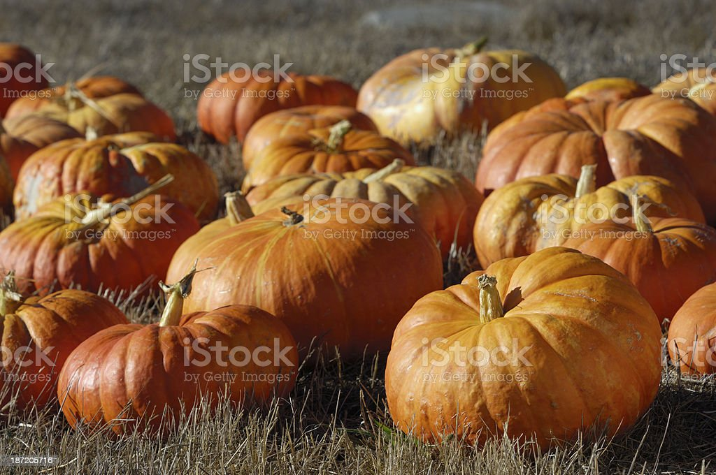 Rural Pumpkin Patch at Harvest Time With Cinderella Pumpkins royalty-free stock photo