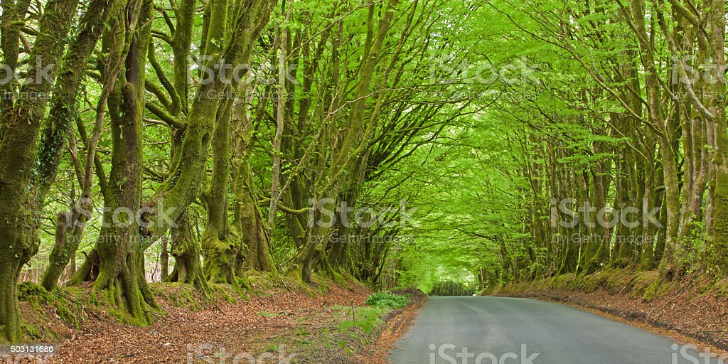 Rural road sheltered by a canopy of overhanging beech trees stock photo