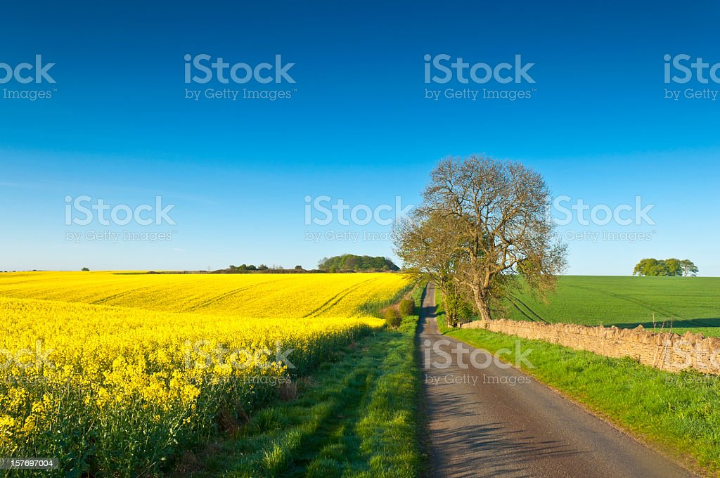 Rural road surrounded by Canola and biodiesel crops royalty-free stock photo
