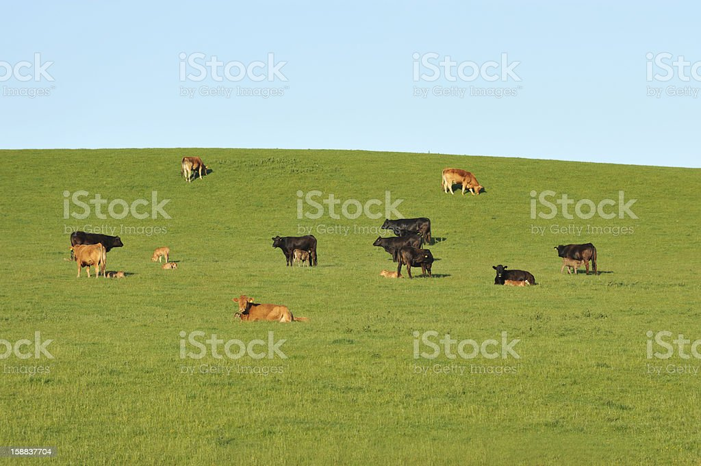 Rural Scottish scene of cows and calves in a field stock photo