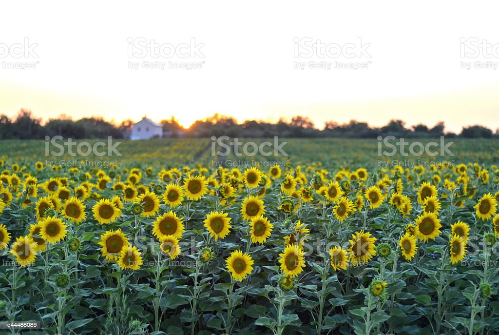 Rural sunset landscape with a golden sunflower field stock photo