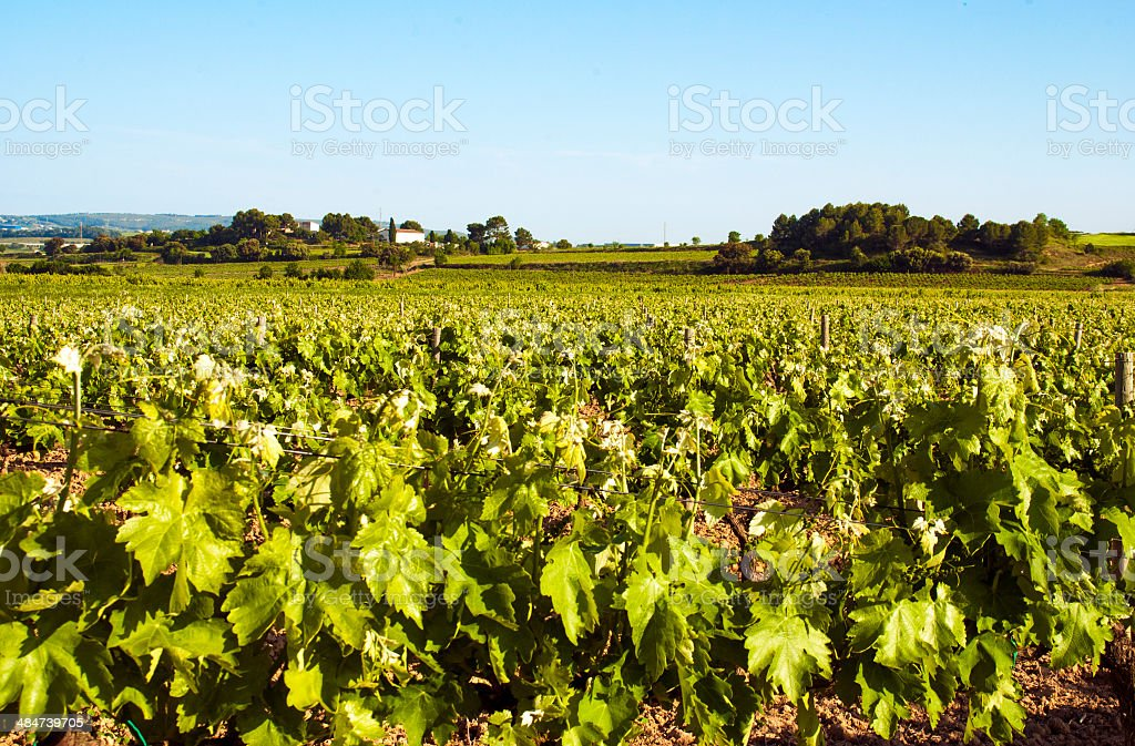 rural vines vine afternoon spain penedes green yellow leaf stock photo