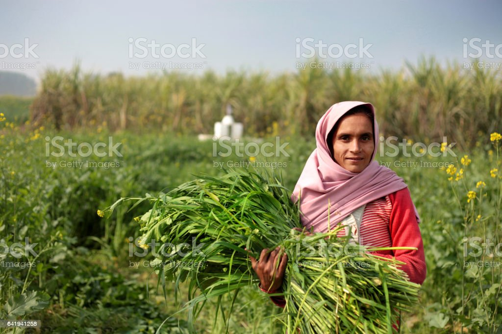 Rural women carrying animal silage stock photo