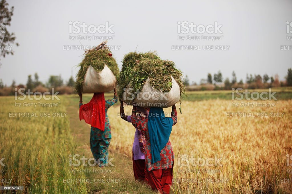 Rural women carrying silage for domestic animal stock photo