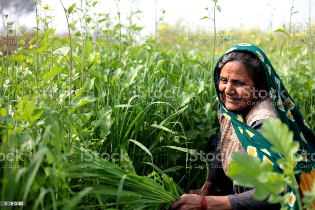 Rural women cutting silage for domestic cattle stock photo