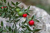 Ruscus aculeatus with berries