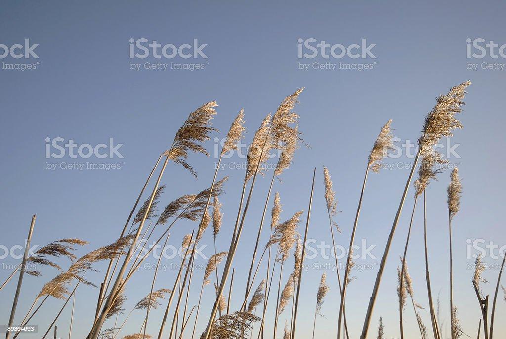 Rush Sky Blue royalty-free stock photo