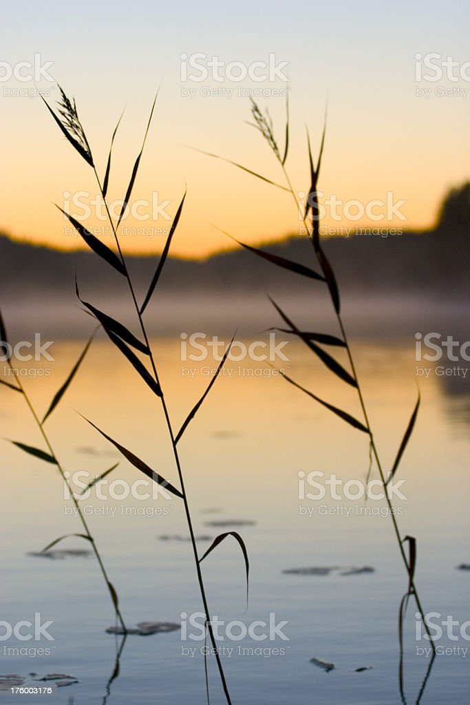 rushes and lake royalty-free stock photo