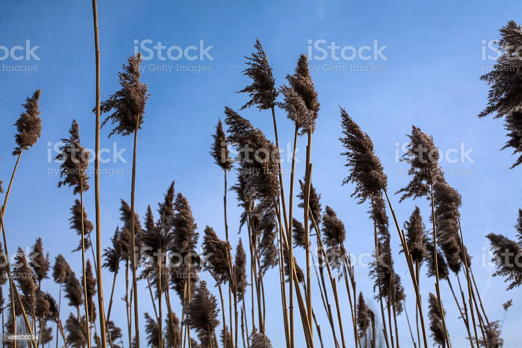 Rushes on river stock photo