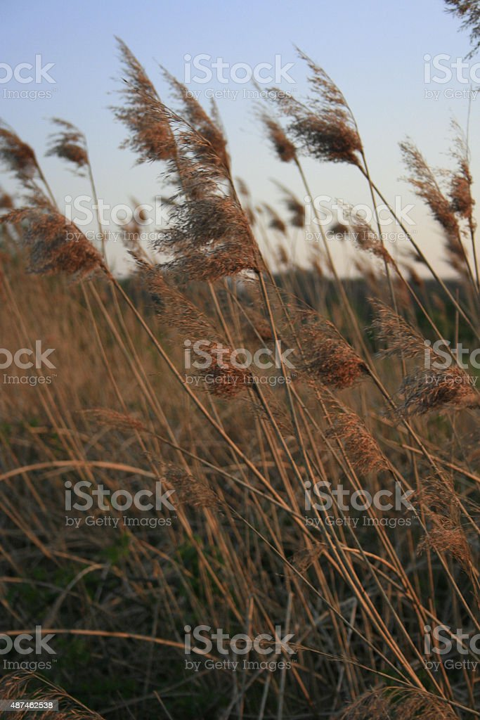 Rushes stock photo