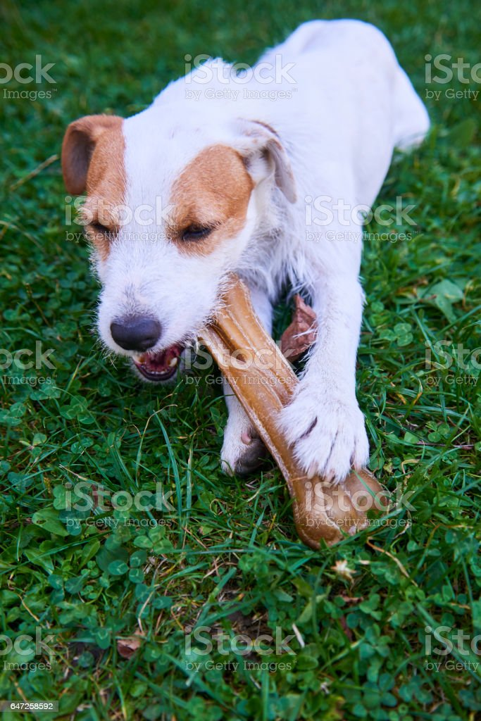 Russel parson terrier dog chewing bone stock photo