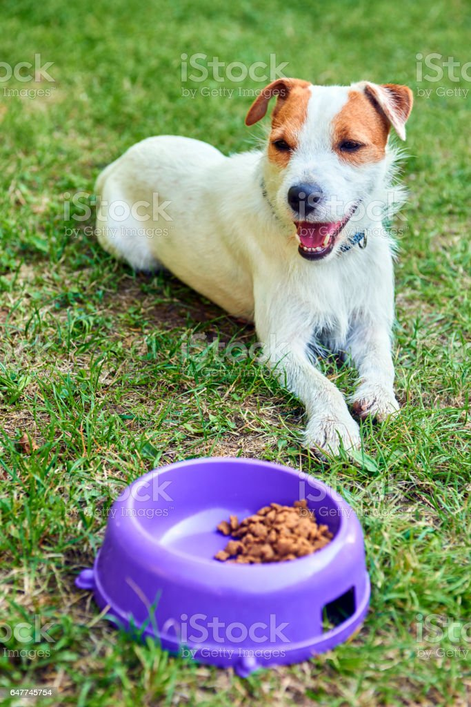 Russell Parson Terrier dog start eating food out of the bowl stock photo