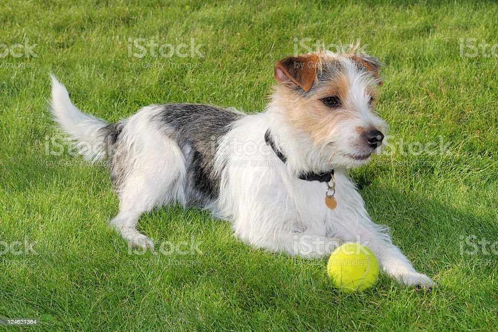 Russell terrier dog guarding his tennis ball stock photo