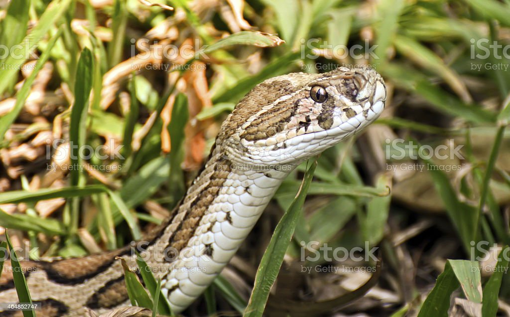 Russels Viper stock photo