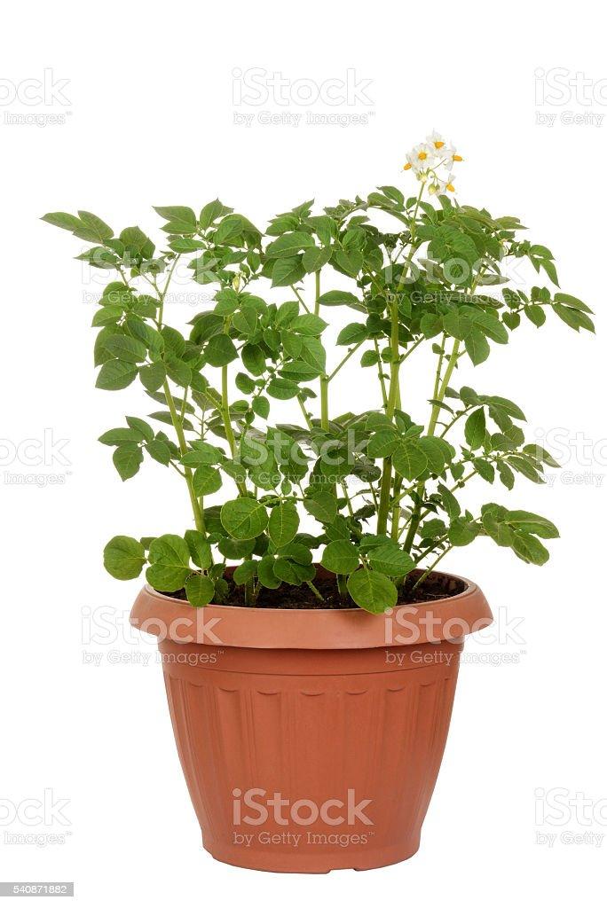 russet potato plant in pot stock photo