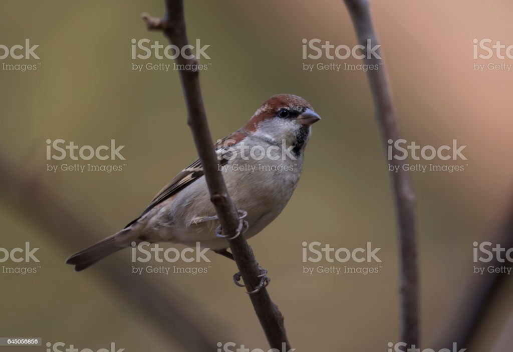 Russet sparrow stock photo