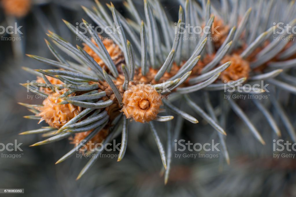Russia, Moscow. Spring wonders: Flowers of tea roses on the branches of spruce Agrocon, macro stock photo