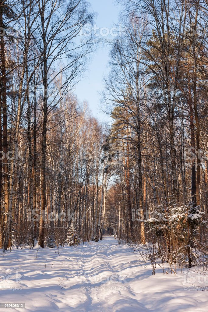 Russia. The winter forest in sunny day stock photo