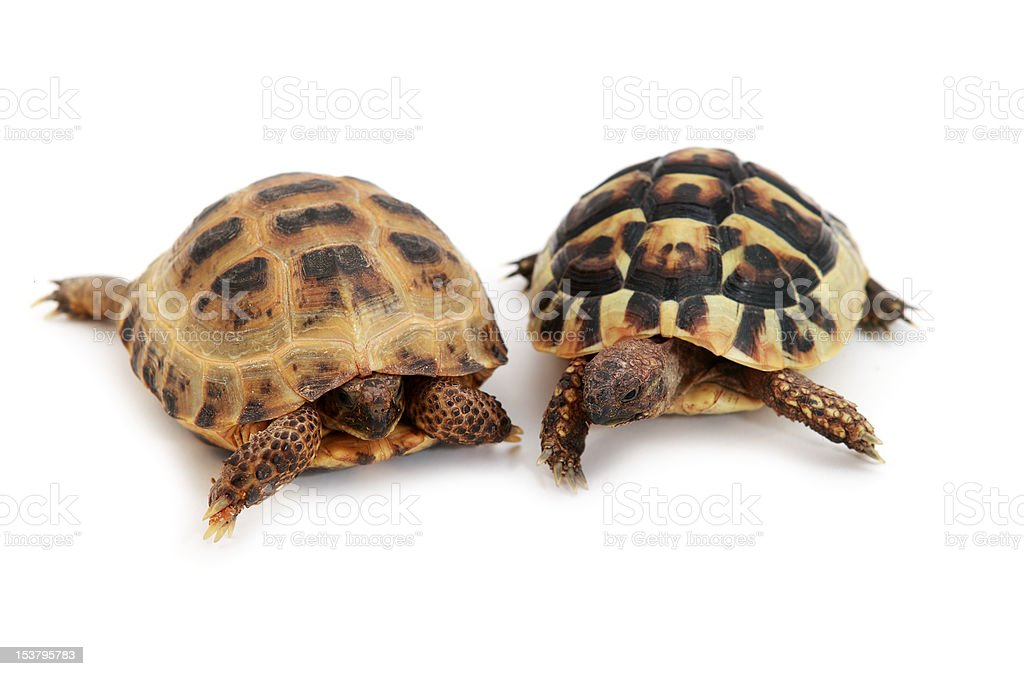 Russian and Hermann's tortoise on white royalty-free stock photo