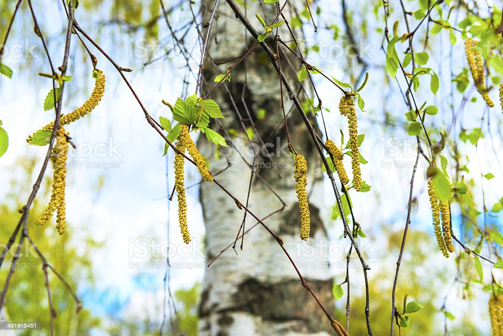 Russian birch earrings blooming spring day stock photo